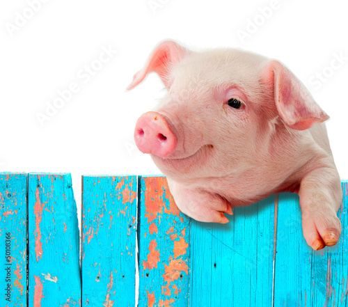 Funny pig hanging on a fence. Isolated on white background. Canvas Print