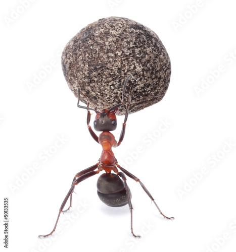 mighty ant holding heavy stone Canvas Print