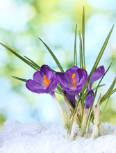Beautiful Purple Crocuses On Snow, On Green Background