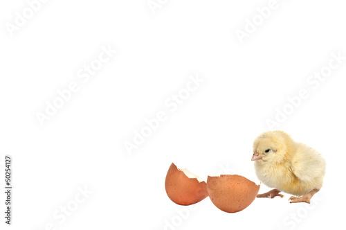 Fotografie, Obraz  Petit poussin avec un coquille d'oeuf.