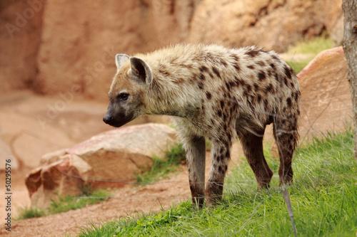 In de dag Hyena hyenna