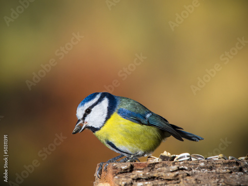 Recess Fitting Bird blue tit