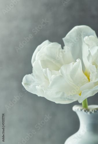 bialy-tulipan