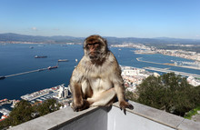 A Barbary Macaque At Gibraltar Cable Car Top Station.