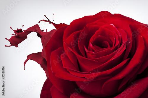 Fototapeta róża 5 obraz
