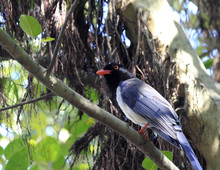 Blue Magpie On The Tree