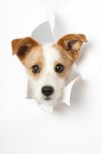 Hund Durchbricht Papier - Dog Breaks Through Paper