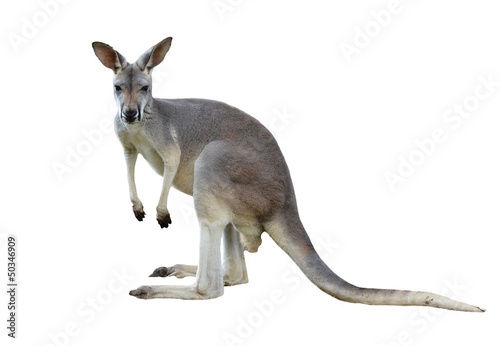 Cadres-photo bureau Kangaroo gray kangaroo