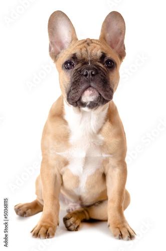 Foto op Plexiglas Franse bulldog Französische Bulldogge vor weiß
