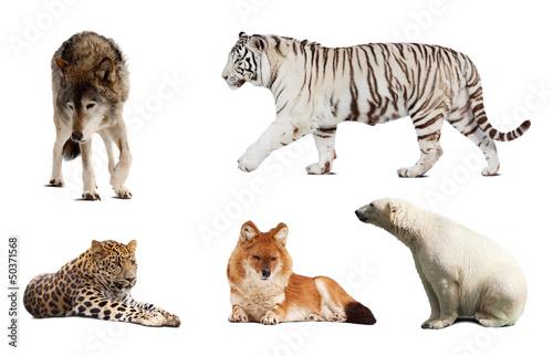 Set of Carnivora mammal. Isolated over white Wallpaper Mural