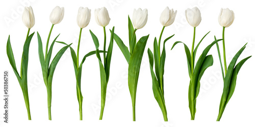 Cadres-photo bureau Tulip white tulips