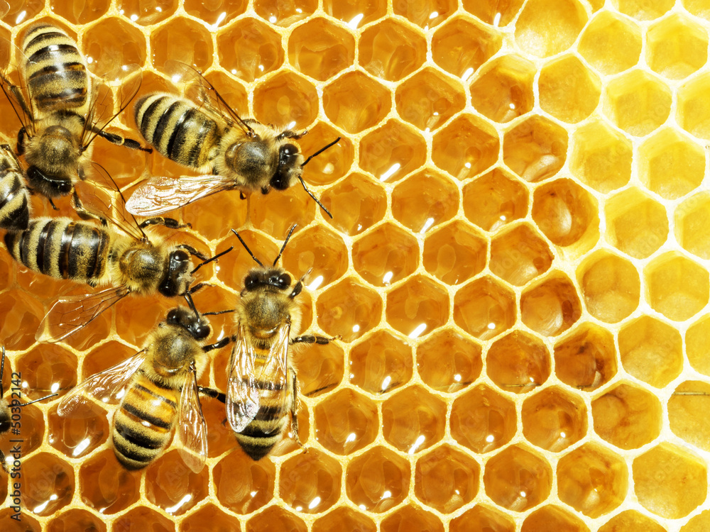 Fototapety, obrazy: Close up view of the working bees on honey cells