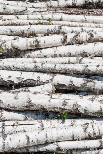 Tuinposter Berkbosje Fresh cutted birch logs.