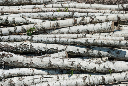 Tuinposter Berkbosje Fresh cutted birch logs.