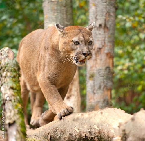 Ingelijste posters Puma Cougar