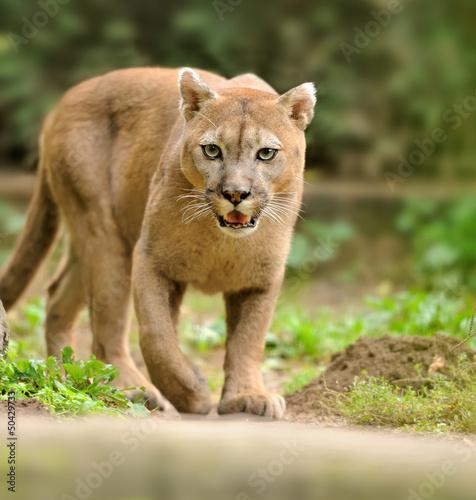In de dag Puma Cougar