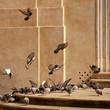 gołębie rzym