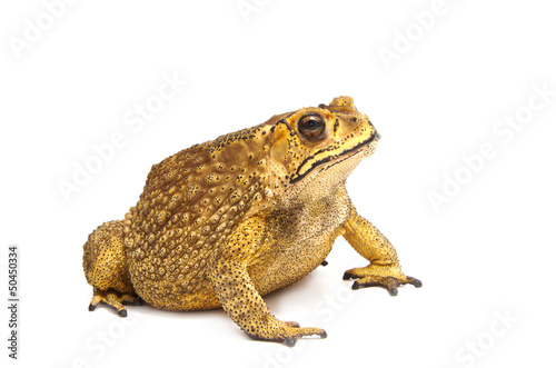 Foto op Canvas Kikker Toad Isolated
