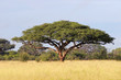 canvas print picture African Acacia tree, Hwange National Park