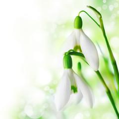 Fototapeta Snowdrop flowers