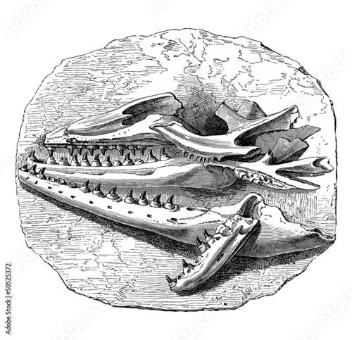 Photo Fossil : Mosasaurus - Head
