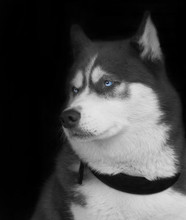 Stunning Portrait Of A Siberian Husky