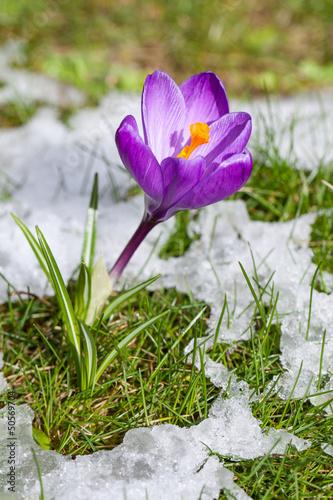 Krokus in der Wiese mit schmelzendem Schnee