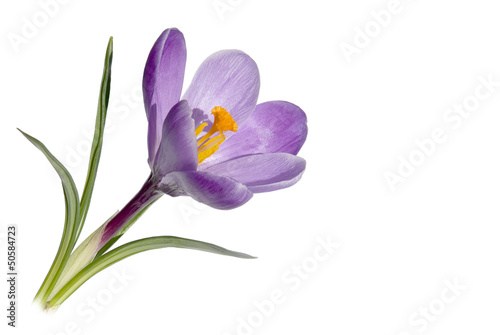 Canvas Prints Crocuses Krokus