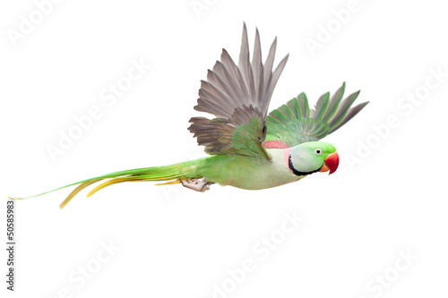 In de dag Papegaai Flying big green ringed or Alexandrine parakeet