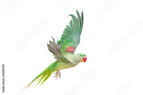 Big green ringed or Alexandrine parakeet Fototapeta