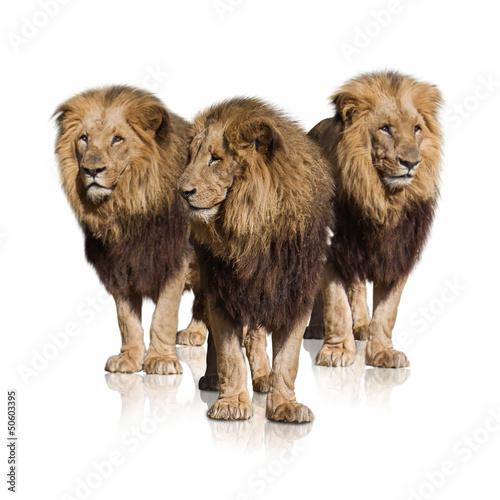 Foto op Plexiglas Leeuw Group Of Wild Lions