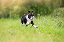 Border Collie Puppy Running Th...