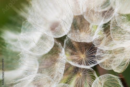 Montage in der Fensternische Lowenzahn und Wasser Dandelion with seeds