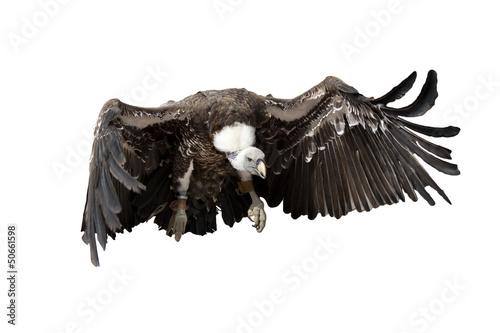 Fotografie, Tablou  vulture