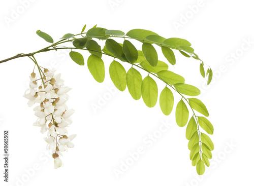 Photo acacia