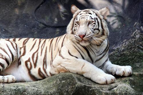 In de dag Tijger White Bengal Tiger