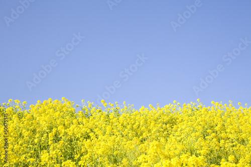 Poster Jaune 菜の花畑
