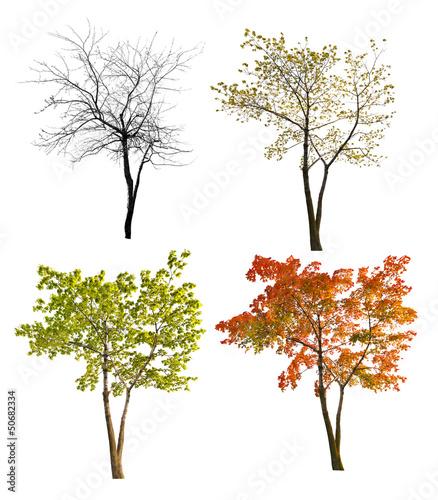 four seasons maple tree isoalted on white