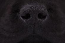 Nose Of A Black Labrador Retri...