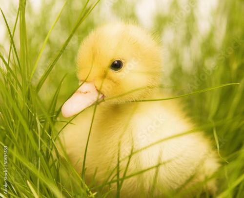 Photo  cute duckling