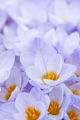 Panel Szklany Egzotyczne Abundant crocus blossoms