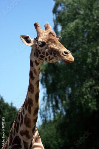 Tuinposter Giraffe Giraffe