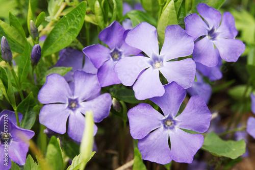 Fotografia blue spring flowers