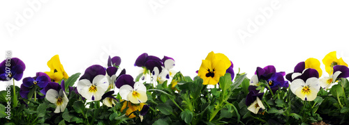 Fotobehang Pansies border of pansies