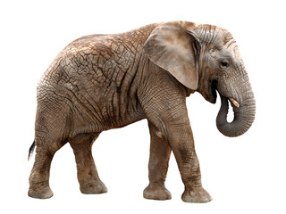 Fototapeta African elephant isolated on white