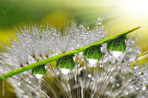 Garden Poster Dandelions and water Fresh grass with dew drops close up