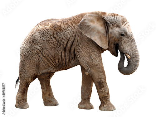 Foto op Aluminium Olifant African elephant isolated on white