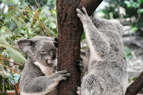 Poster Oceanië Koala bears in a eucalyptus gum tree in Queensland (Australia)