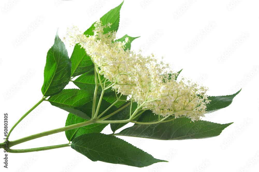 Fototapeta Fresh Sambucus nigra on a white background