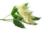 Fresh Sambucus nigra on a white background